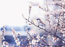 O fundo natural com o pardal pequeno do pássaro que senta-se nos ramos das flores de cerejeira no pode jardinar em um lilás quiet fotografia de stock royalty free