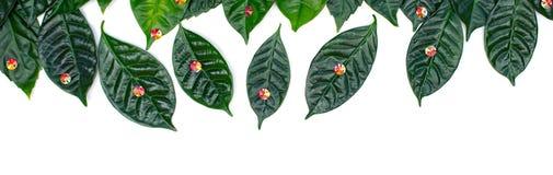 O fundo natural do feriado da bandeira com verde sae em um fundo branco Imagens de Stock Royalty Free