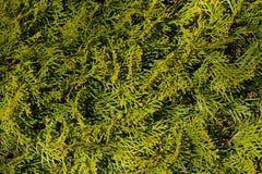 O fundo natural verde do Thuja, thuja ramifica textura Imagens de Stock Royalty Free