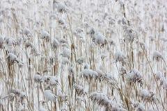 O fundo neutro quieto de um junco e de uma neve fotos de stock royalty free