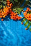 O fundo outonal Rowan frutifica placa de madeira azul Foto de Stock