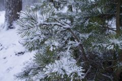 O fundo ramifica árvore de abeto coberta com a neve Foto de Stock