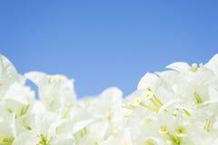 O fundo romântico do vintage da flor branca Fotos de Stock Royalty Free
