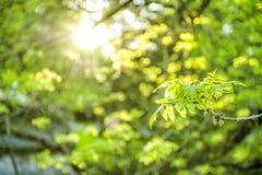 O fundo Sun da natureza da mola irradia as folhas verdes Fotos de Stock Royalty Free