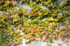 O fundo surpreendente do outono com a hera cinco-com folhas da trepadeira de Victoria deixa o rastejamento na parede branca na lu Fotos de Stock Royalty Free