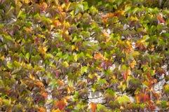 O fundo surpreendente do outono com a hera cinco-com folhas da trepadeira de Victoria deixa o rastejamento na parede branca na lu Fotografia de Stock