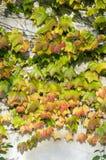 O fundo surpreendente do outono com a hera cinco-com folhas da trepadeira de Victoria deixa o rastejamento na parede branca na lu Imagem de Stock