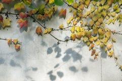 O fundo surpreendente do outono com a hera cinco-com folhas da trepadeira de Victoria deixa o rastejamento na parede branca na lu Foto de Stock