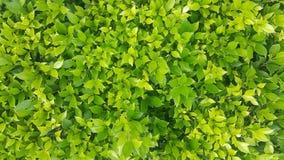 O fundo verde da folha Imagem de Stock