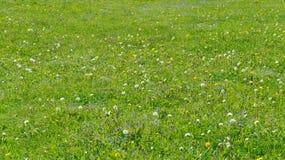 O fundo verde do verão com dentes-de-leão de florescência e miosótis selvagem floresce Imagens de Stock Royalty Free