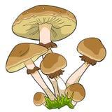 O fungo do agaric do mel do cogumelo Ilustração do vetor ilustração stock