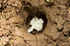 o furo na terra com escargot do ovo imagem de stock