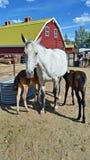 O gêmeo foals cuidados Imagem de Stock