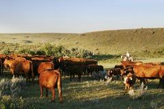 O gado arredonda-se acima Fotos de Stock Royalty Free