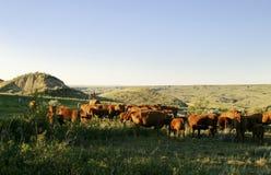 O gado arredonda-se acima Fotos de Stock