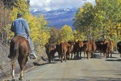 O gado conduz na escuteira Road, Ridgeway, CO imagens de stock