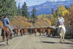 O gado conduz na escuteira Road, Ridgeway, CO fotografia de stock