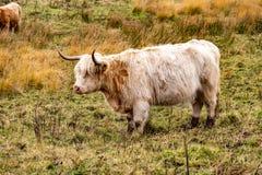 O gado das montanhas - BO Ghaidhealach - Heilan arrulha - uma raça de gado escocesa com os chifres longos característicos e por m imagem de stock