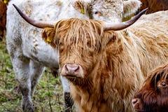 O gado das montanhas - BO Ghaidhealach - Heilan arrulha - uma raça de gado escocesa com os chifres longos característicos e por m foto de stock