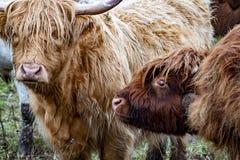 O gado das montanhas - BO Ghaidhealach - Heilan arrulha - uma raça de gado escocesa com os chifres longos característicos e por m foto de stock royalty free