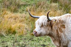 O gado das montanhas - BO Ghaidhealach - Heilan arrulha - uma raça de gado escocesa com os chifres longos característicos e por m imagem de stock royalty free