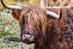 O gado das montanhas - BO Ghaidhealach - Heilan arrulha - uma raça de gado escocesa com os chifres longos característicos e por m imagens de stock royalty free