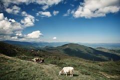 O gado está alimentando altamente nas montanhas imagens de stock