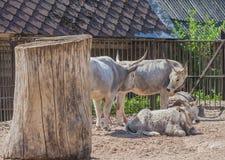 O gado húngaro do estepe tem três indivíduos Imagem de Stock Royalty Free