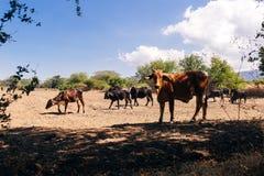 O gado novo come o feno e a grama em um dia ensolarado imagem de stock