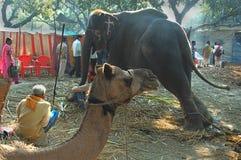 O gado o mais grande de Asiaâs justo. Fotografia de Stock