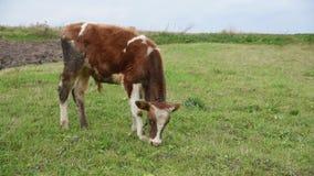 O gado pasta no meio do campo, touro novo, na trela, Ucrânia filme