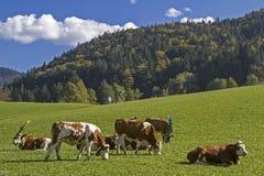 O gado vai ao vale Fotos de Stock Royalty Free
