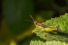 O gafanhoto é planta que come insetos Foto de Stock Royalty Free