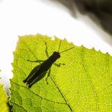 O gafanhoto é planta que come insetos Foto de Stock