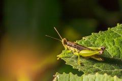 O gafanhoto é planta que come insetos Imagem de Stock