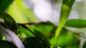 O gafanhoto nas folhas verdes na floresta, Foz faz Iguacu, Brasil imagens de stock royalty free