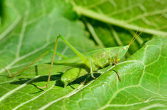 O gafanhoto novo, verde come as folhas no jardim Imagem de Stock