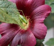 O gafanhoto verde em um fúcsia coloriu a flor do hibiskus Fotografia de Stock Royalty Free