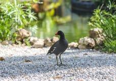 O galeata comum do Gallinula do gallinule é um pássaro no Rallidae da família imagem de stock royalty free