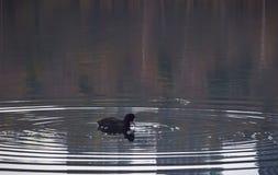 O galeirão euro-asiático centrou-se nos anéis na água em um lago calmo foto de stock royalty free