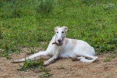 O galgo da raça do cão está encontrando-se na areia imagens de stock royalty free
