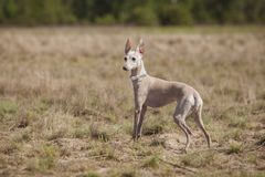 O galgo italiano do cão leva a cabo a isca no campo Percorrendo o treinamento fotos de stock royalty free