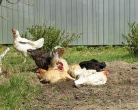 O galo ? com a galinha a descansar em cima da m?sica abriu abaixo pelo c?u fotografia de stock