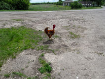 O galo da raça de Transylvanian das galinhas está na estrada na vila Fotografia de Stock