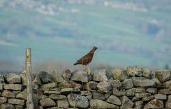 O galo silvestre vermelho Cockbird esteve na parede Drystone na primavera imagem de stock