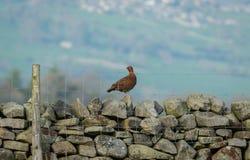 O galo silvestre vermelho Cockbird esteve na parede Drystone na primavera fotos de stock
