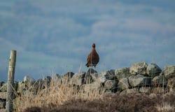 O galo silvestre vermelho Cockbird esteve na parede Drystone na primavera fotos de stock royalty free