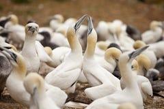 O Gannets Cermony da sedução Imagem de Stock