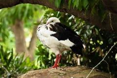 O ganso andino está olhando imagens de stock