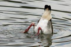 O ganso assenta-se acima Foto de Stock